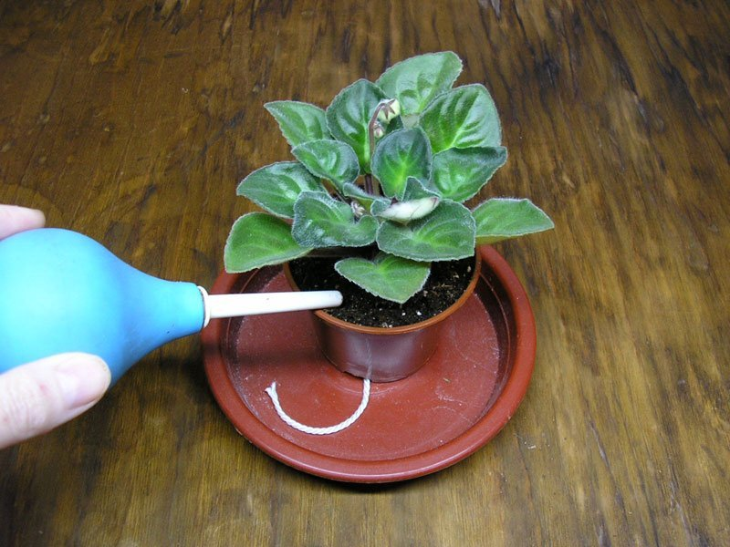 Фиалка уход в домашних условиях фото как поливать