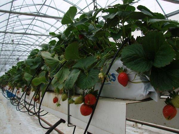 Бизнес на выращивание клубники круглый год