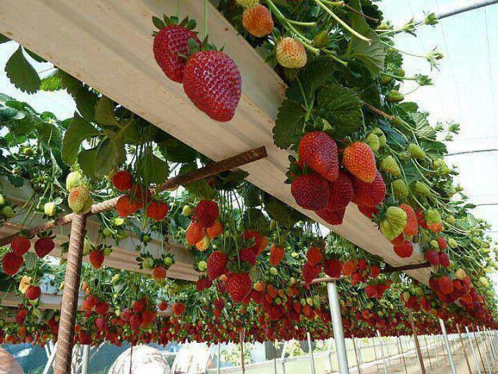Выращивание земляники и клубники круглый год 23