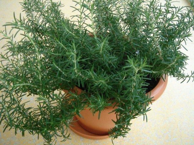 выращивание имбирь из семян в домашних условиях