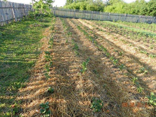 Огород с картофелем под соломой