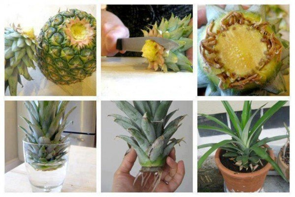 Посадка ананаса