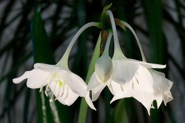 цветы амазонской лилии