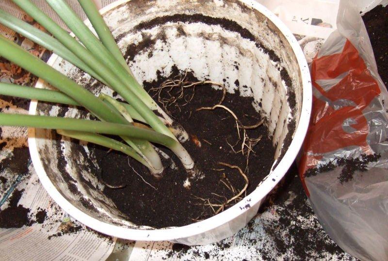 Как сажать цветок эухарис 81