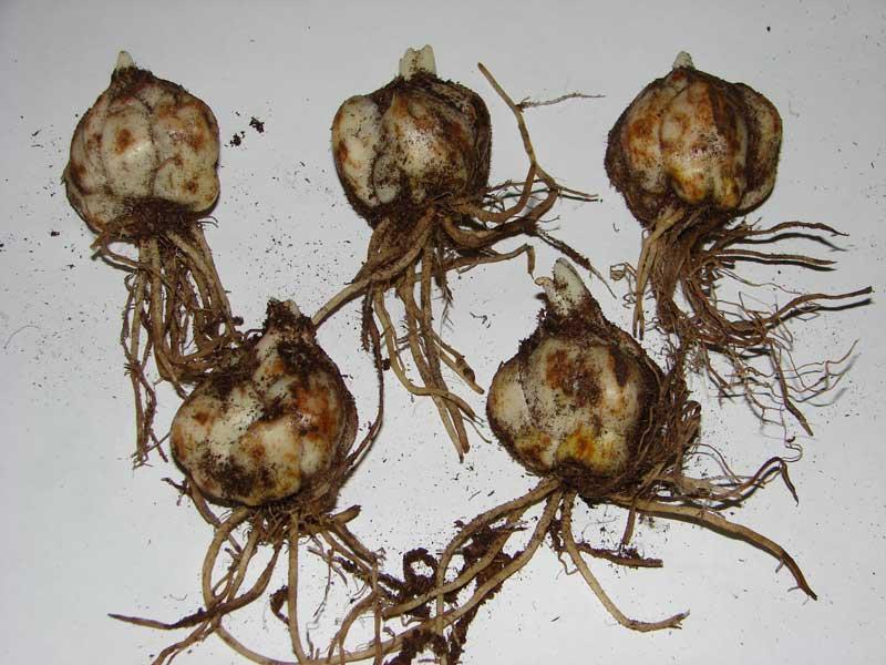 Как сажать проросшие луковицы лилии