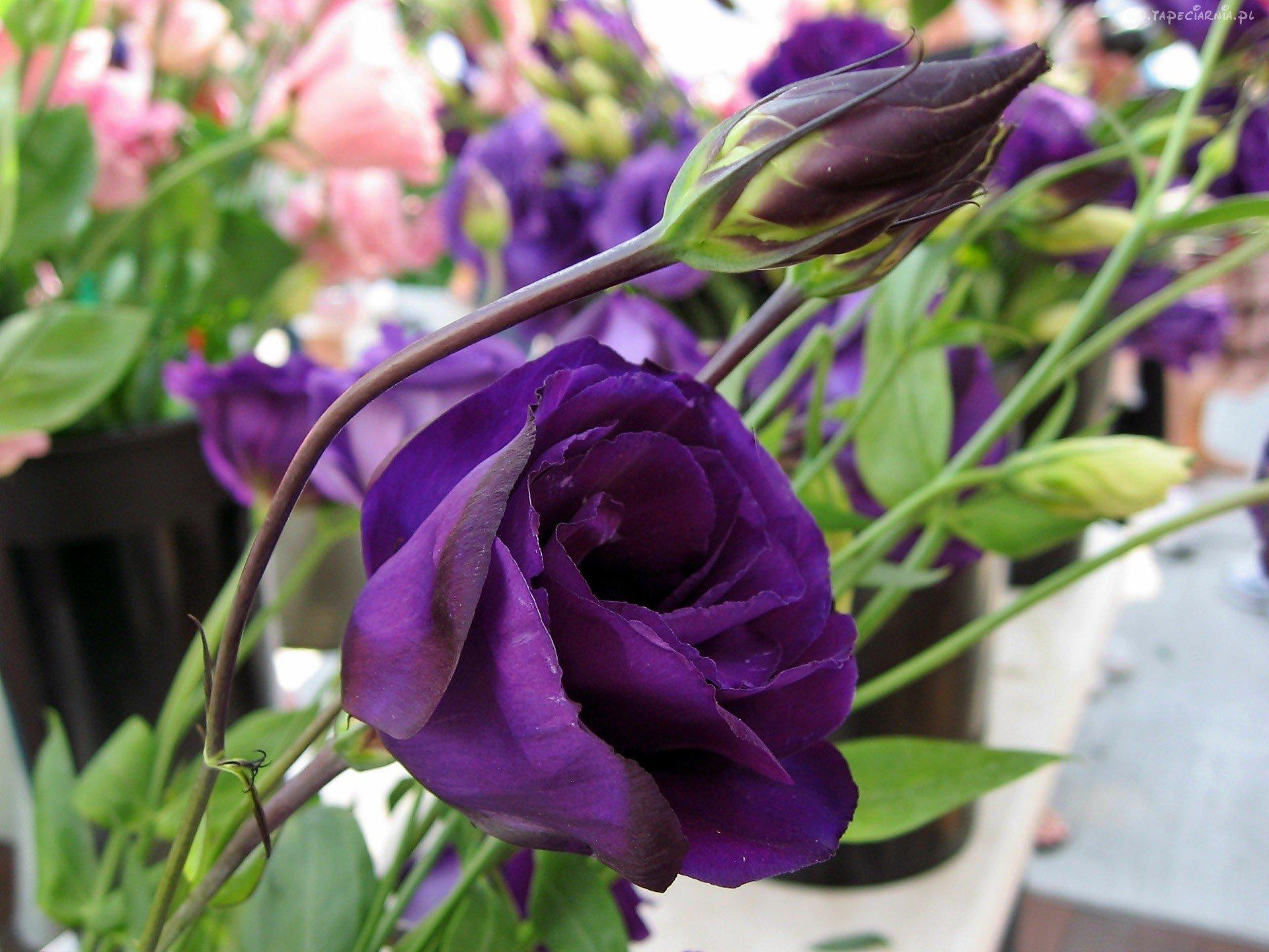 Цветы эустома и выращивание из семян в домашних 80