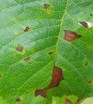 Бурая пятнистость на листьях