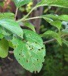 Дырчатая пятнистость на листве