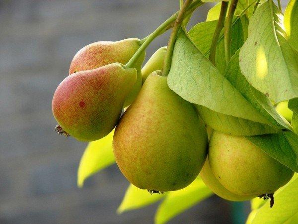Груша плоды