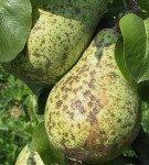 Груши с плодовой гнилью