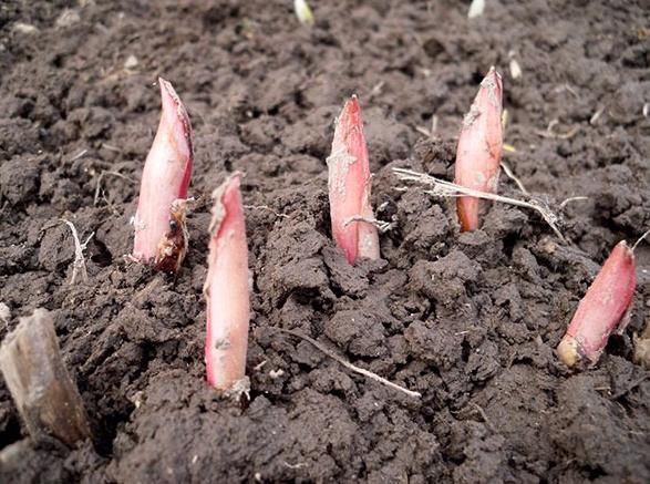 Молодые ростки пионов