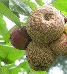 Плодовая гниль семечковых