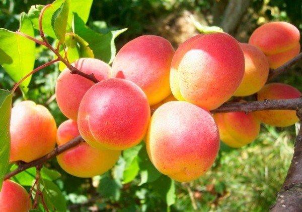 Плоды абрикоса Краснощёкий