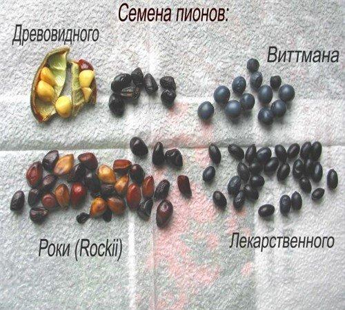 Семена разных видов пиона