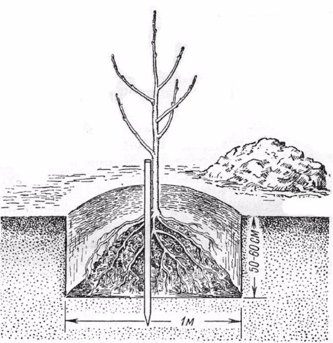 Когда сажают грушу весной или осенью 1