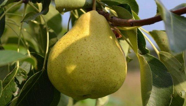 посадка груша чижовская описание фото отзывы