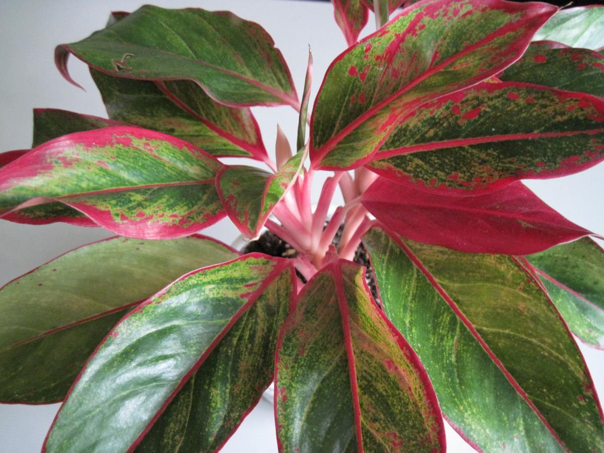 Домашний цветок с красно зелеными листьями фото
