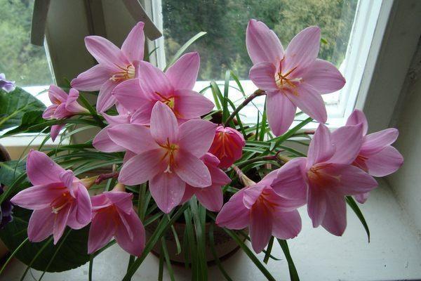 цветение зефирантеса