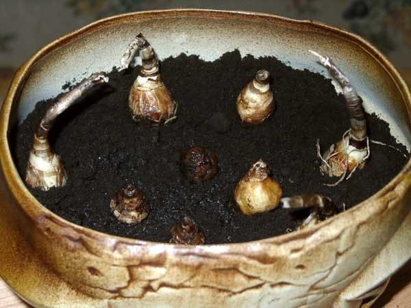 посадка луковиц зефирантеса