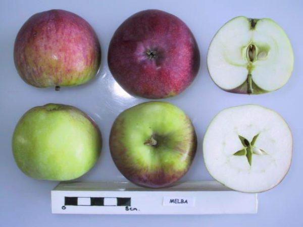 Плод Мельбы в разрезе