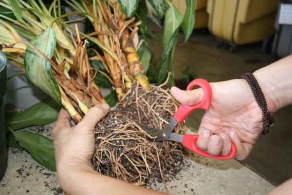 размножение аглаонемы делением корней