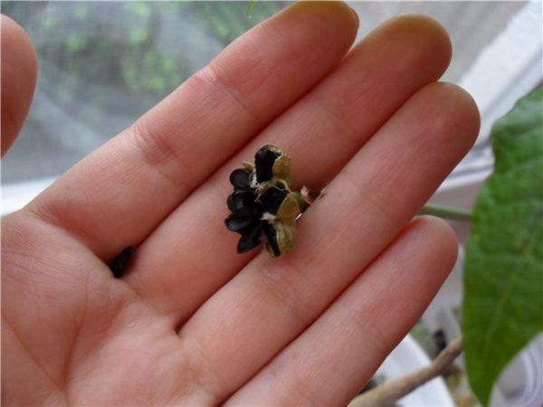 семена зефирантеса