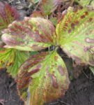 Бурые пятна на листьях садовой земляники