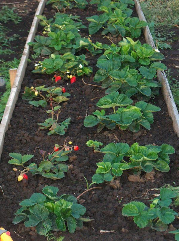 Грядка с кустами садовой земляники