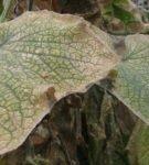 Листья, поражённые паутинным клещом