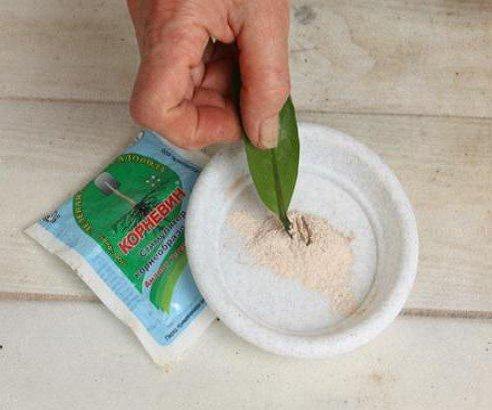 Замиокулькас уход в домашних условиях размножение в домашних условиях