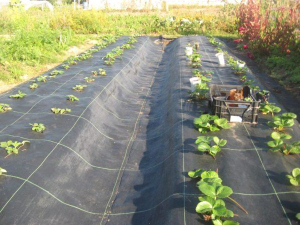 Укрытые плёнкой грядки с садовой земляникой