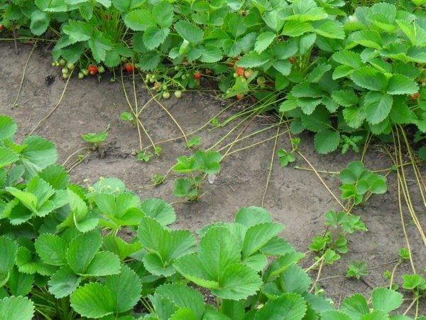 Усы садовой земляники, ползущие по грядке