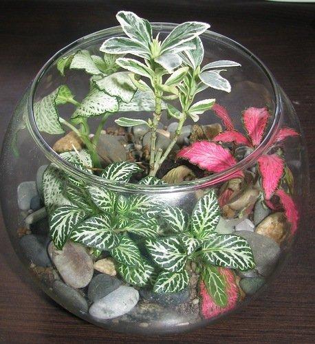 Бутылочный сад с фиттонией