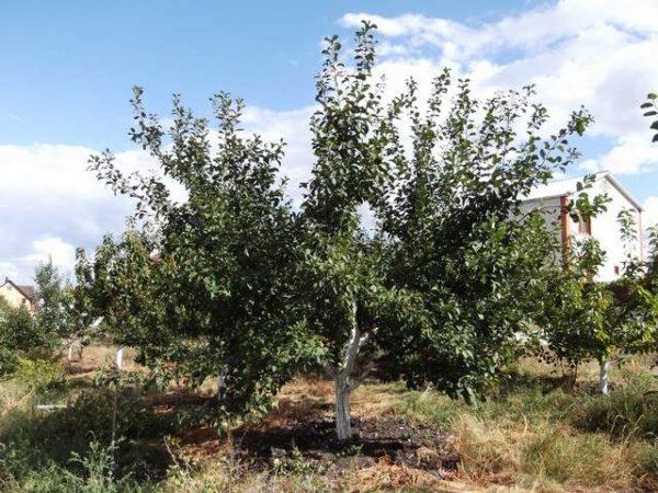 Дерево сливы в период вегетации