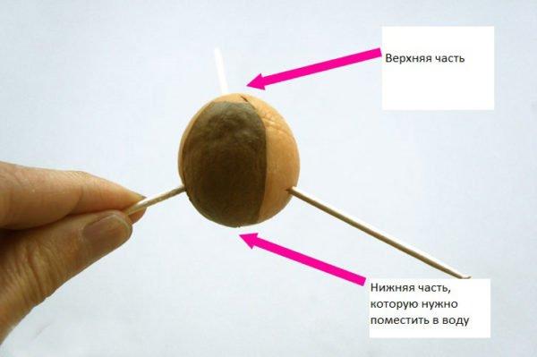 Авокадо как вырастить из косточки