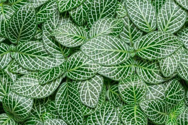 Ковёр из листьев фиттонии