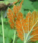 Оранжевый налёт на листе