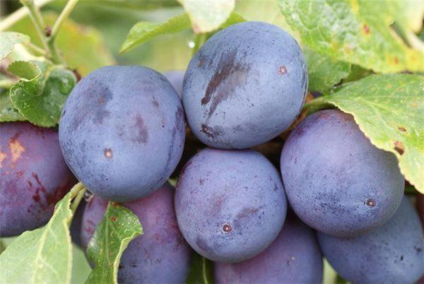 Плоды сливы венгерки