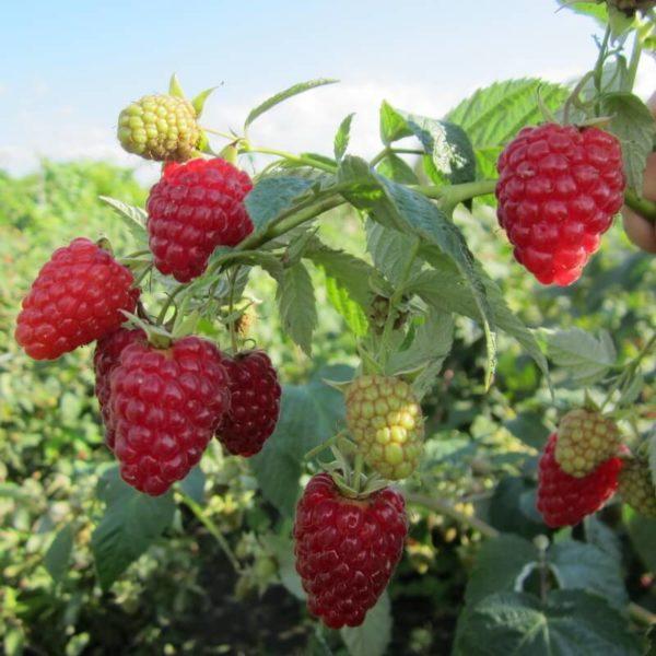 Урожай ягод малины на кусте