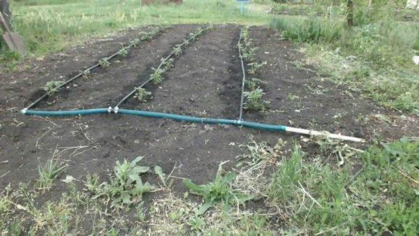 Капельное орошение на грядках садовой земляники