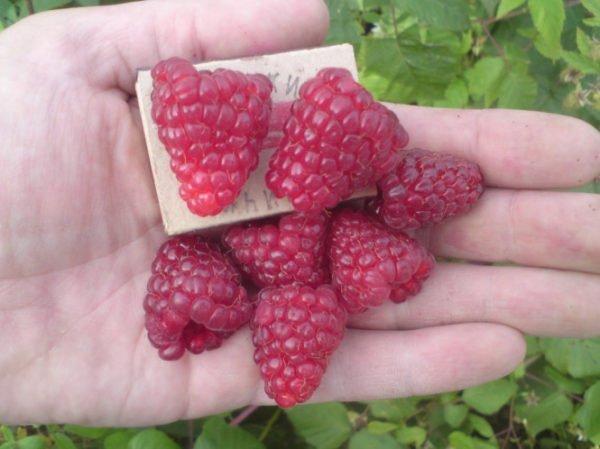 Ягоды малины на ладони в сравнении с коробком спичек