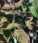 Жухлые листья малины
