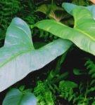 Филодендрон копьевидный