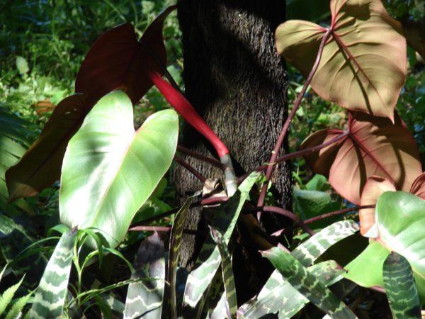 Филодендрон в природе