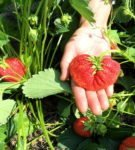 Размер ягод земляники Лорд