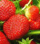 Спелые ягоды земляники Лорд