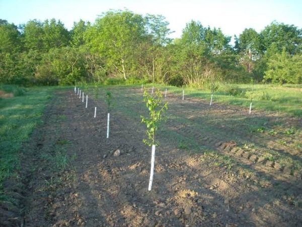 Будущий грушевый сад