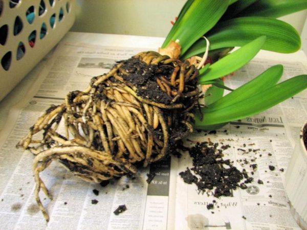 земляной ком с корнямикливии
