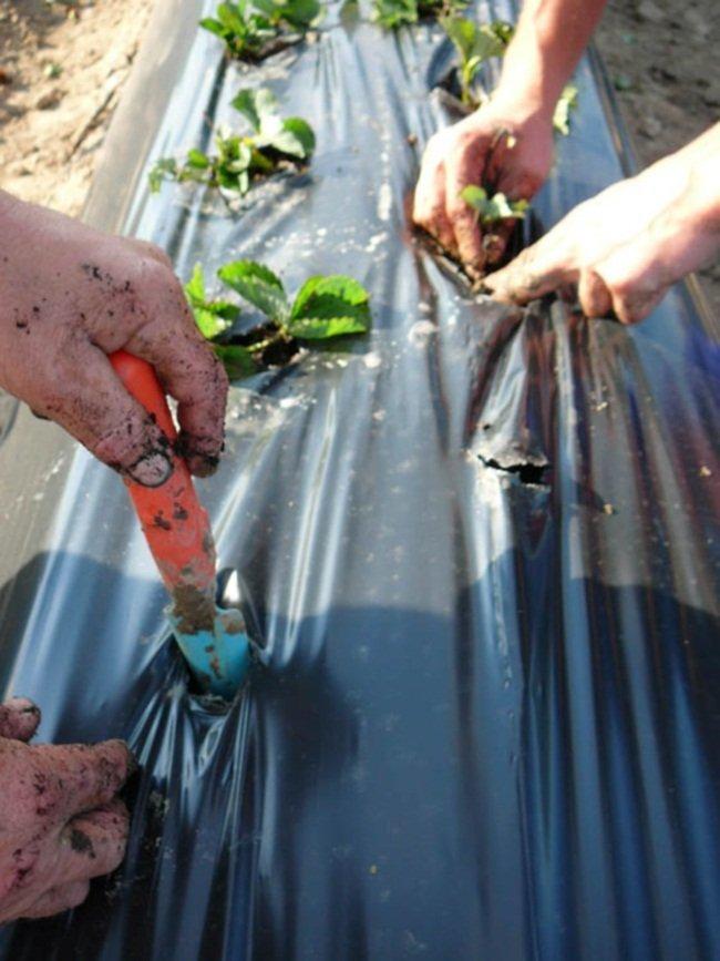 Как правильно сажать клубнику на пленке