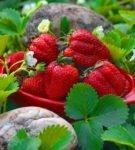 Плоды садовой земляники